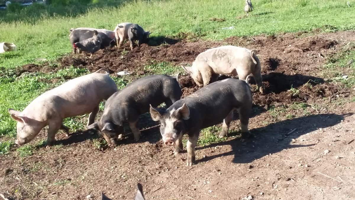 How Fast Do Pigs Grow? 5 Keys For Success