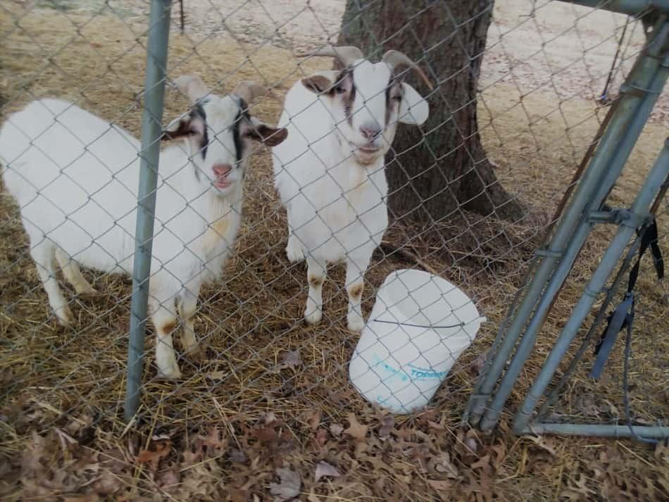 Raising Goats: How Much Space Do You Need? (Backyard ...