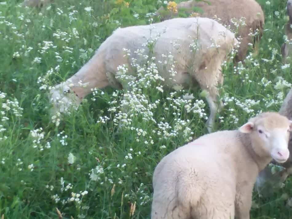 Why Is Lamb Meat So Expensive Family Farm Livestock